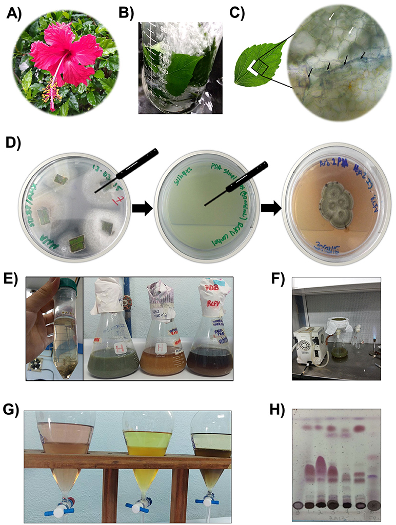 Figure 3 - How do we extract the endophytes from a plant?
