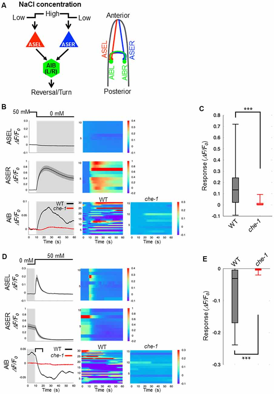 Frontiers | An Excitatory/Inhibitory Switch From Asymmetric