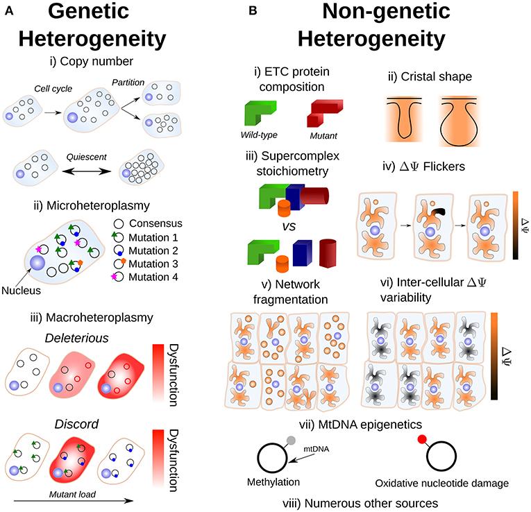 Frontiers   Mitochondrial Heterogeneity   Genetics