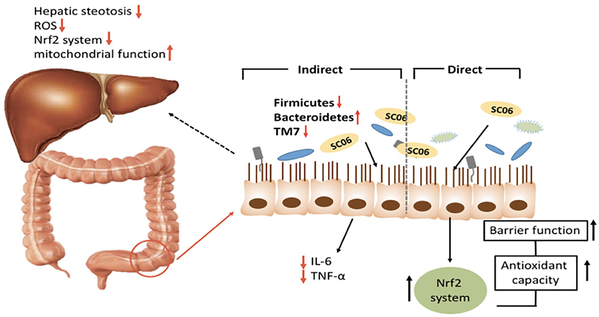 Frontiers | Bacillus amyloliquefaciens SC06 Protects Mice