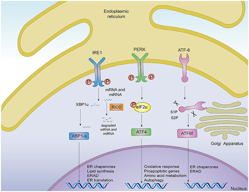 Frontiers | Interplay Between the Unfolded Protein Response