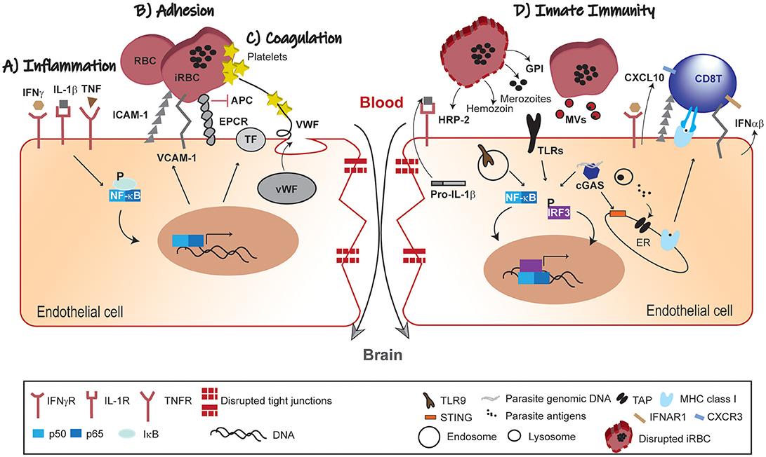Key Molecule May Tie Immune Response To >> Frontiers Brain Endothelium The Innate Immunity Response