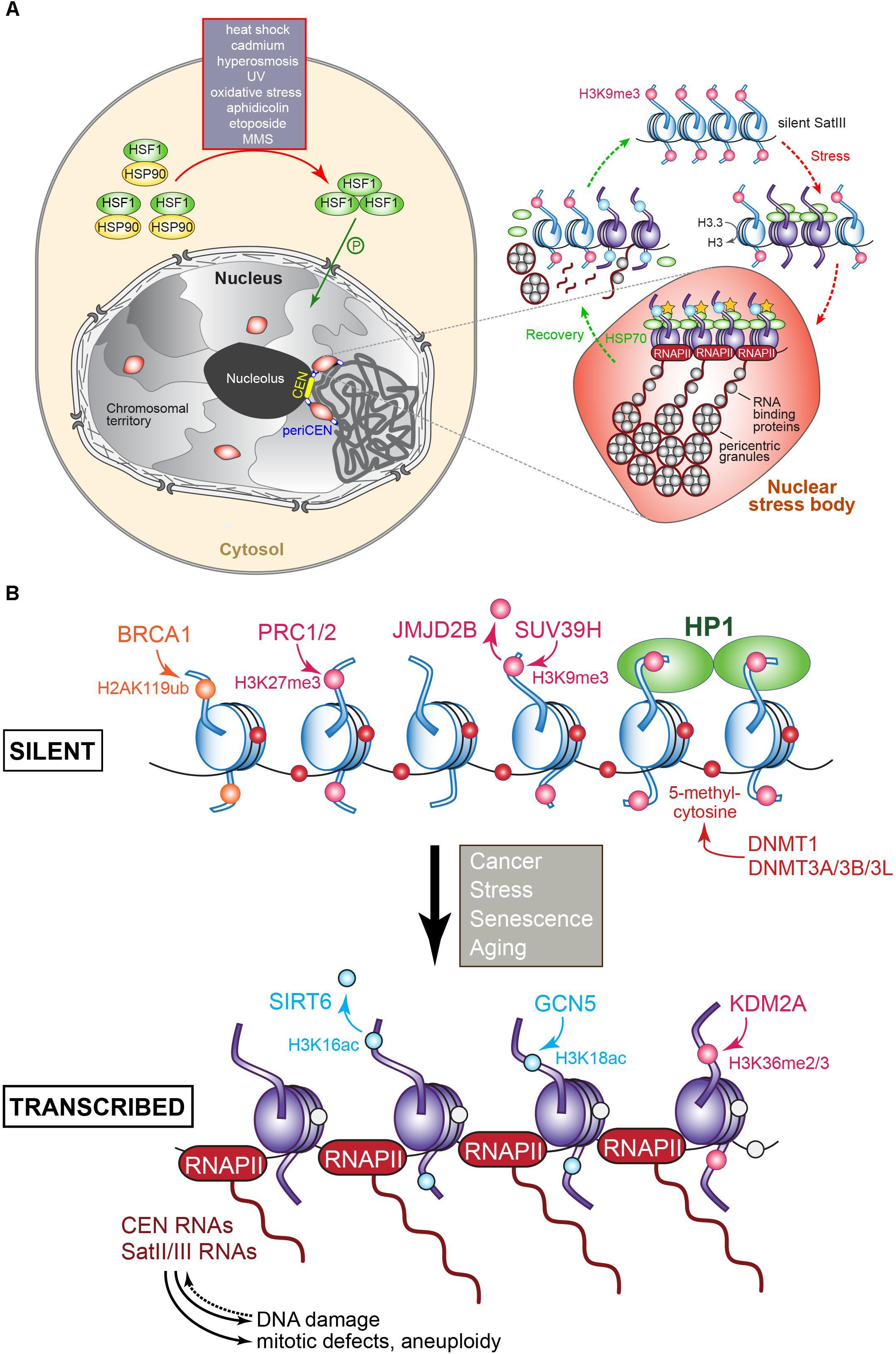 Frontiers | Centromere and Pericentromere Transcription: Roles and