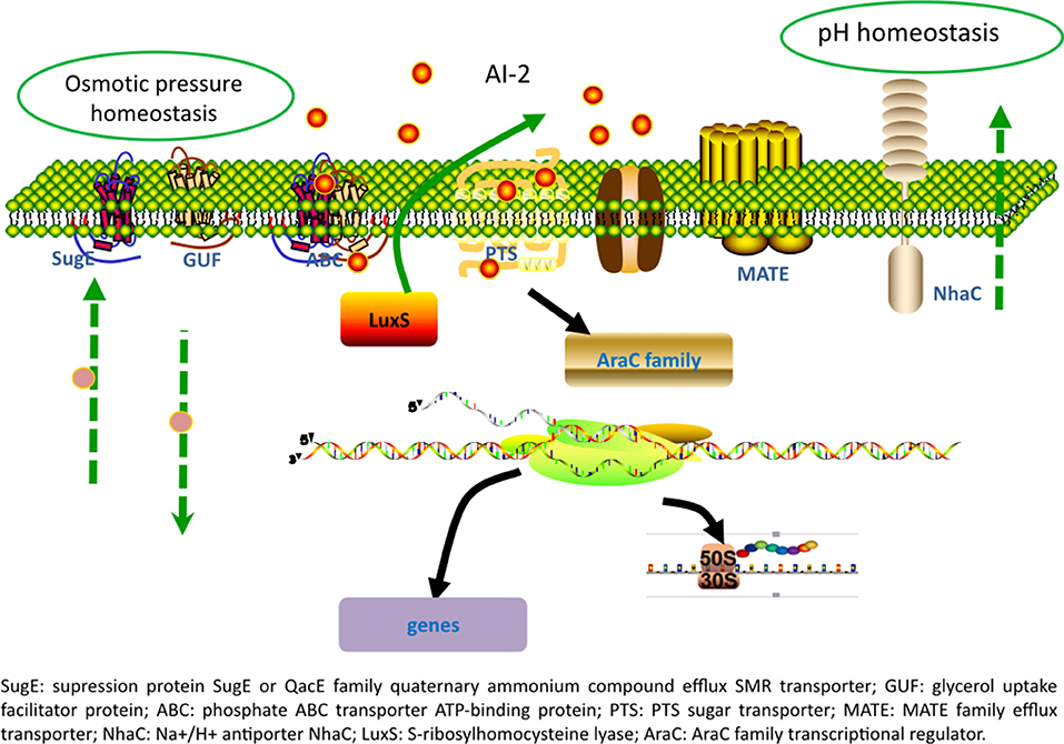 Frontiers | Overexpression of luxS Promotes Stress Resistance and