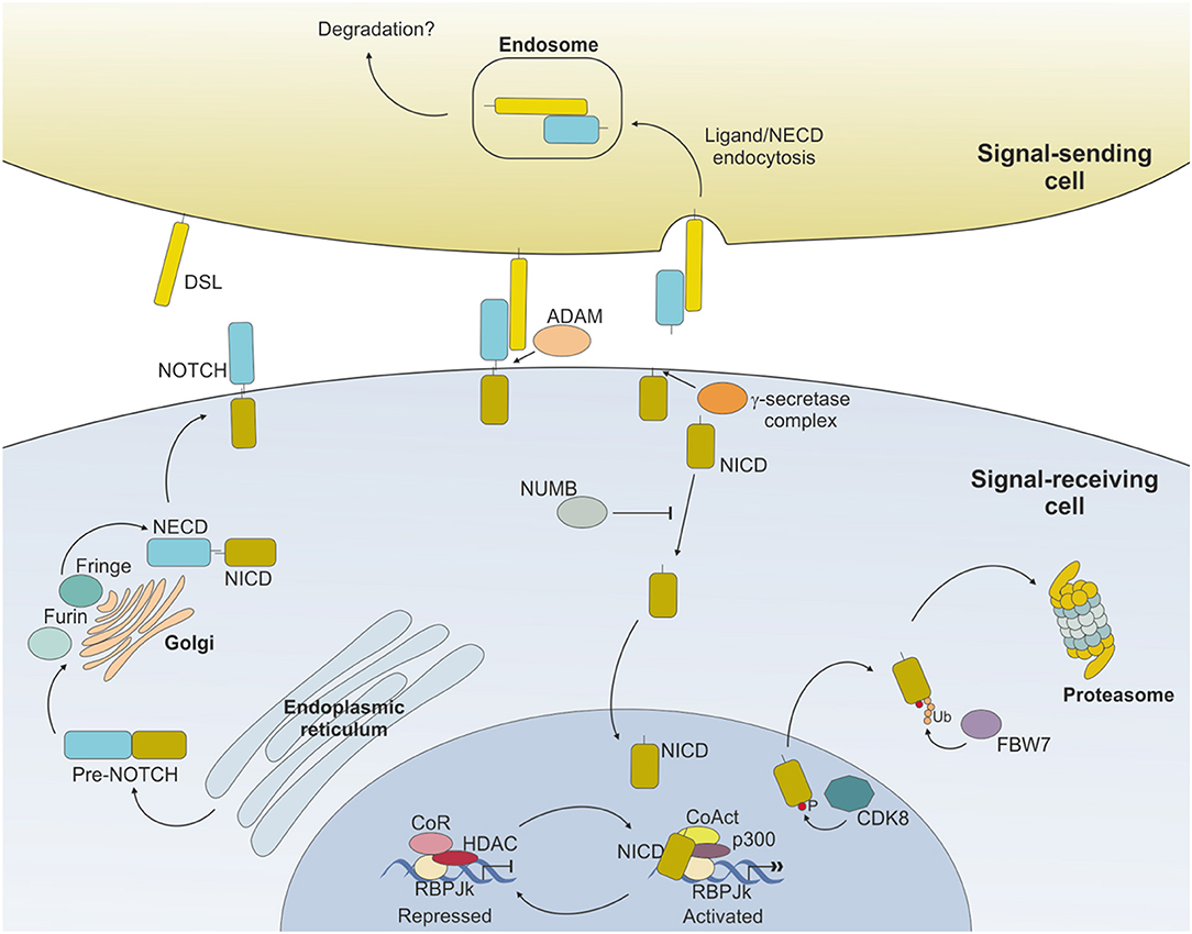 Frontiers | The NOTCH Pathway and Its Mutations in Mature B Cell