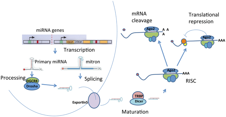 mirnas and genes in cin The human genome encodes ∼550 mirna genes to express about 1,000 mirnas mirnas are differentially expressed in many human cell types and target about 60% of genes  aberrant expression of mirnas has been implicated in numerous disease states and has been explored as a biomarker for possible diagnosis or prognosis of human diseases ( 15.