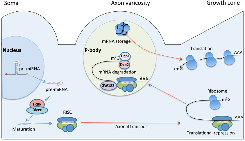 frontiers | molecular mechanisms of peripheral nerve regeneration, Muscles