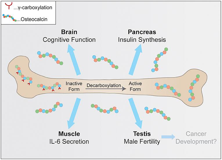 Frontiers | Osteocalcin—A Versatile Bone-Derived Hormone | Endocrinology