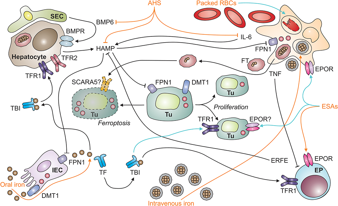 Frontiers | Iron in the Tumor Microenvironment—Connecting