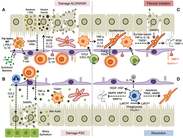 Frontiers | The Role of Myeloid-Derived Cells in the Progression of