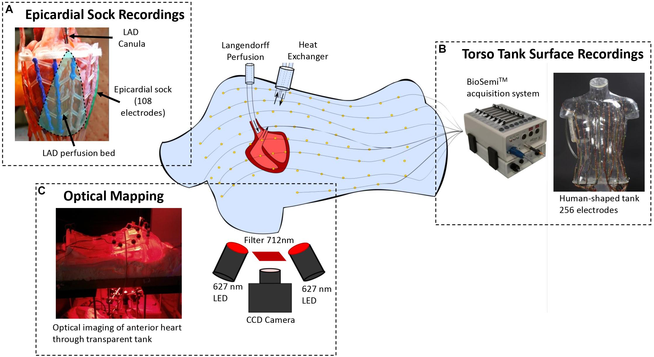 Frontiers | Optical Imaging of Ventricular Action Potentials