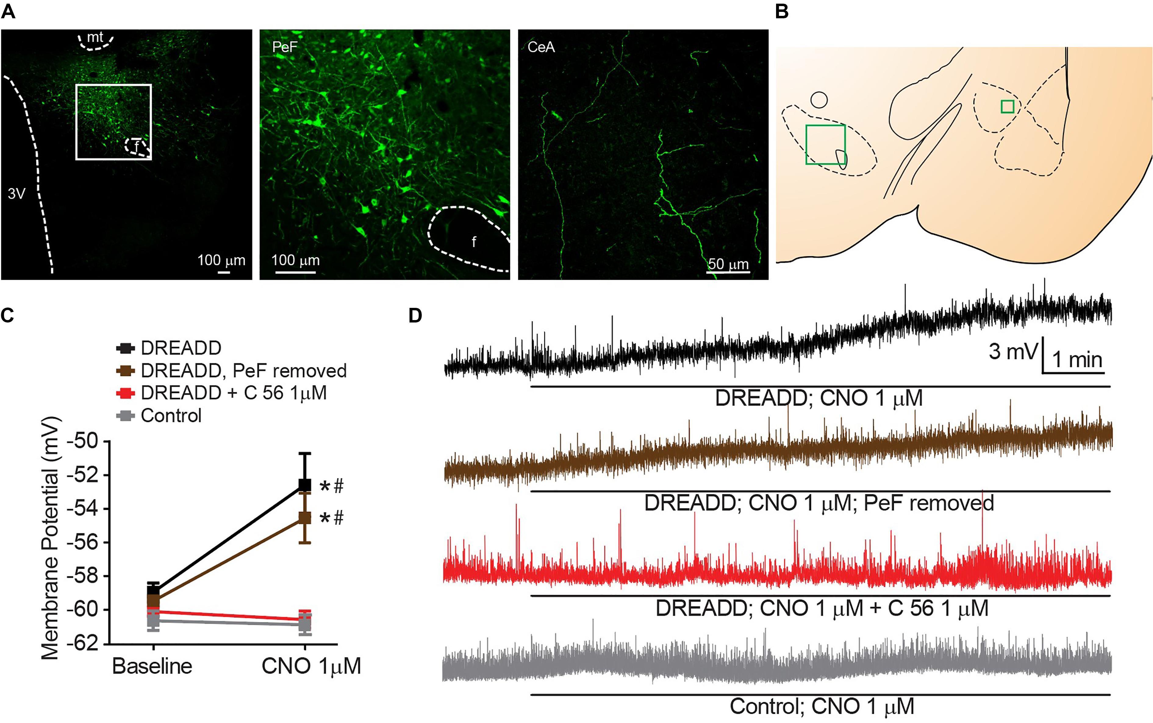 Frontiers | Orexin Depolarizes Central Amygdala Neurons via