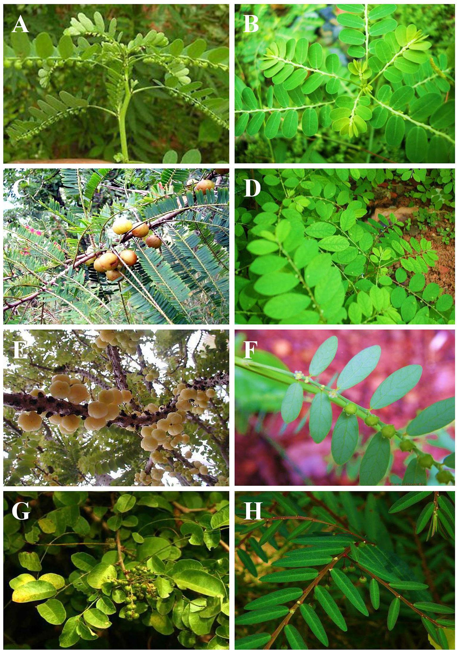 100 seeds Phyllanthus niruri,herb,Current plan,maintain,Control,Blood sugar