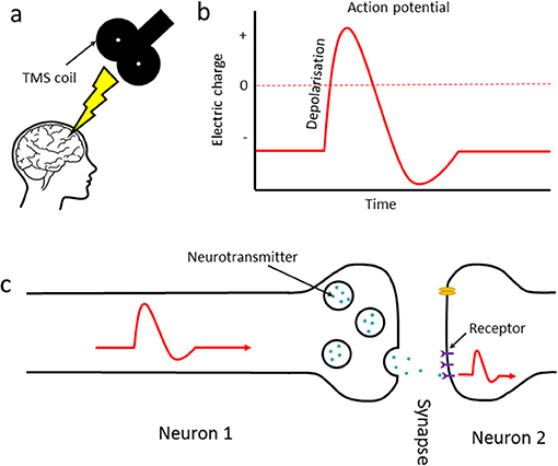 Figure 1 - (A) When a TMS pulse is applied to the brain, action potentials are generated in the neurons under the skull.
