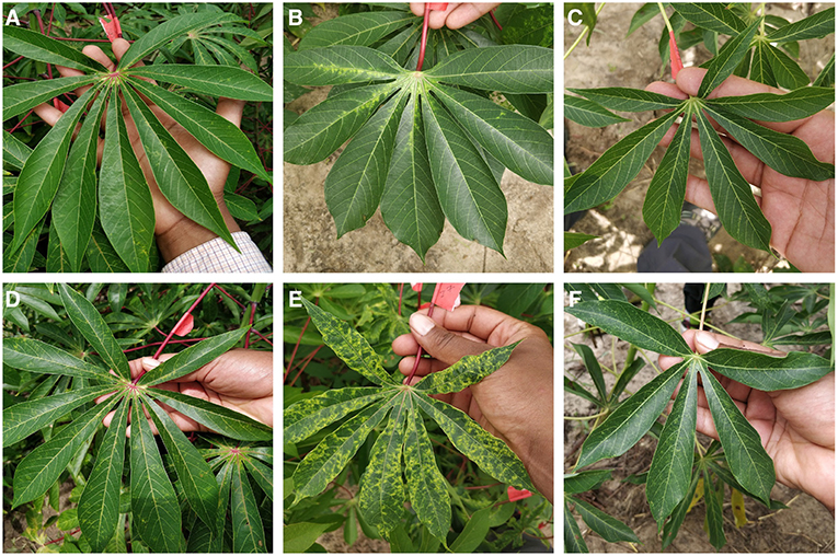 Frontiers | A Mobile-Based Deep Learning Model for Cassava Disease