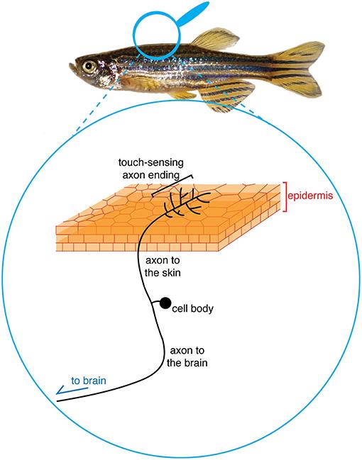 איור 1 - דיאגרמה של התאים הנדרשים לחישת מגע.