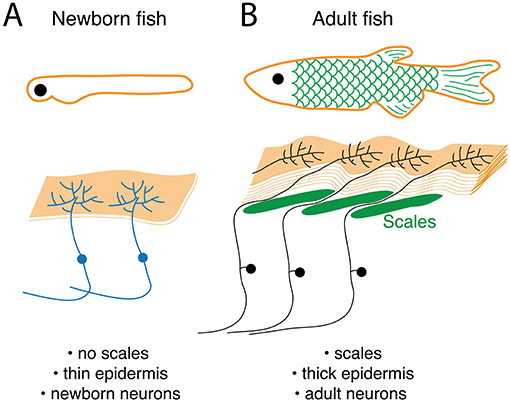 Figure 2 - The skin and touch-sensing nervous system change as newborn animals grow into adults.