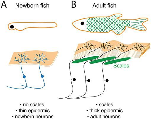 איור 2 - העור ותאי עצב שקשורים בחישת מגע משתנים כשחיות צעירות מתבגרות לחיות בוגרות.