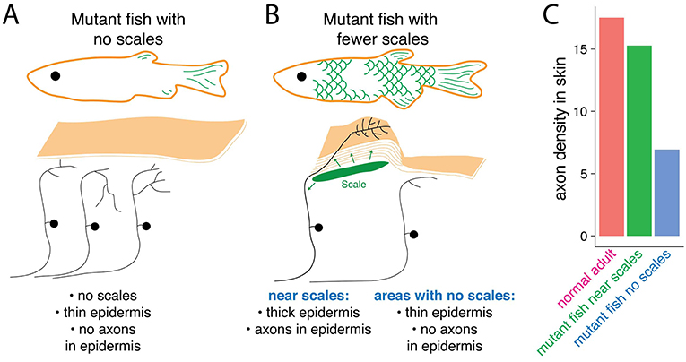 Figure 3 - Scales send a local signal to transform epidermal cells and touch-sensing neurons.
