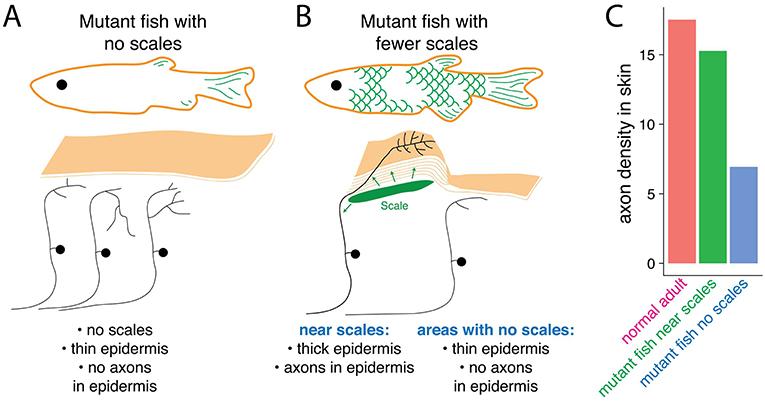 איור 3 - קשקשים שולחים אותות מקומיים שמשנים את התאים האפידרמליים ואת תאי העצב שקשורים בחישת מגע.