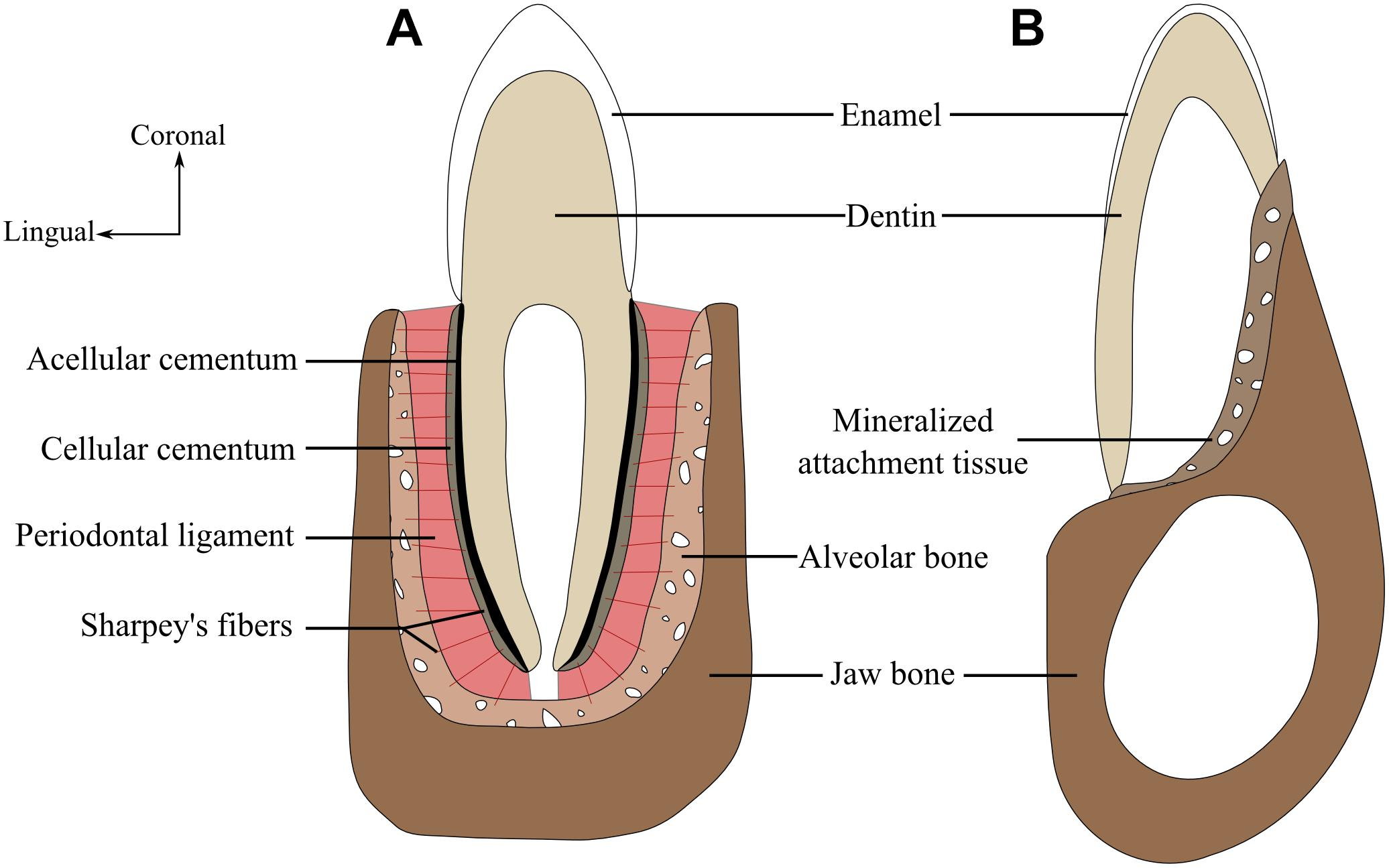 Frontiers Current Perspectives On Tooth Implantation Attachment