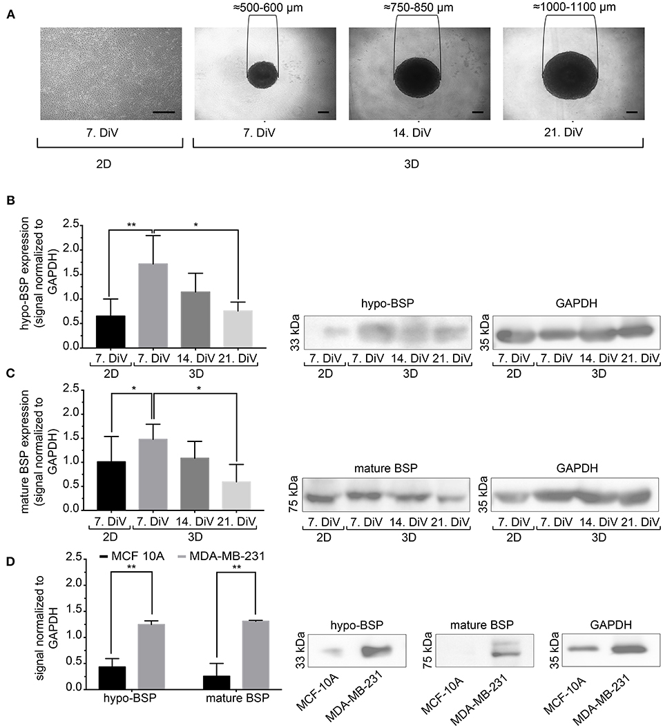 Frontiers | Bone Sialoprotein Shows Enhanced Expression in