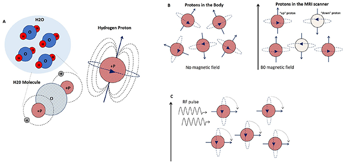 Figure 2 - Hydrogen protons and how they behave in a magnetic field.