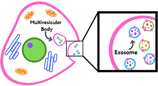 Figure 3 - Exosomes are stored in a multivesicular body and released outside of the cell into the blood.