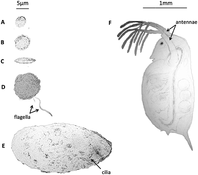 Figure 1 - Algae and predators.