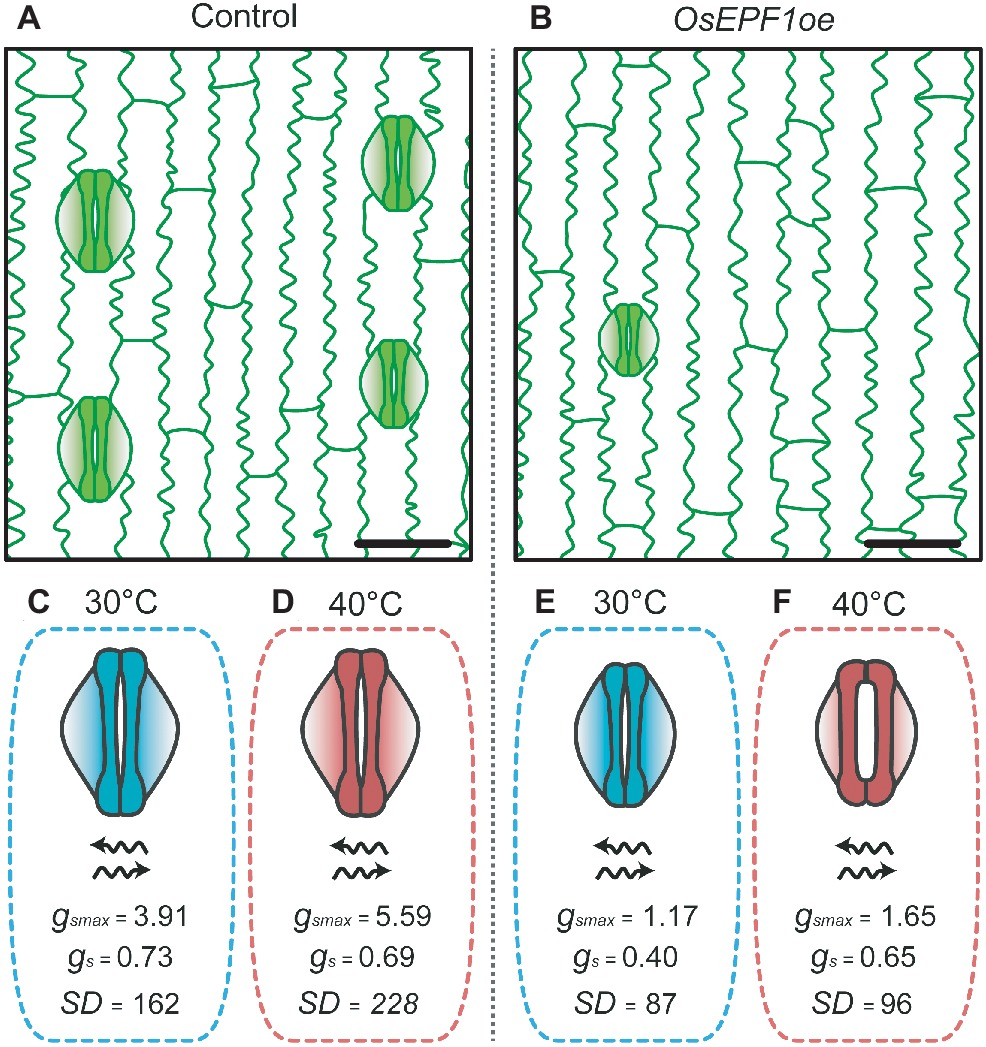 Frontiers | Impact of Stomatal Density and Morphology on