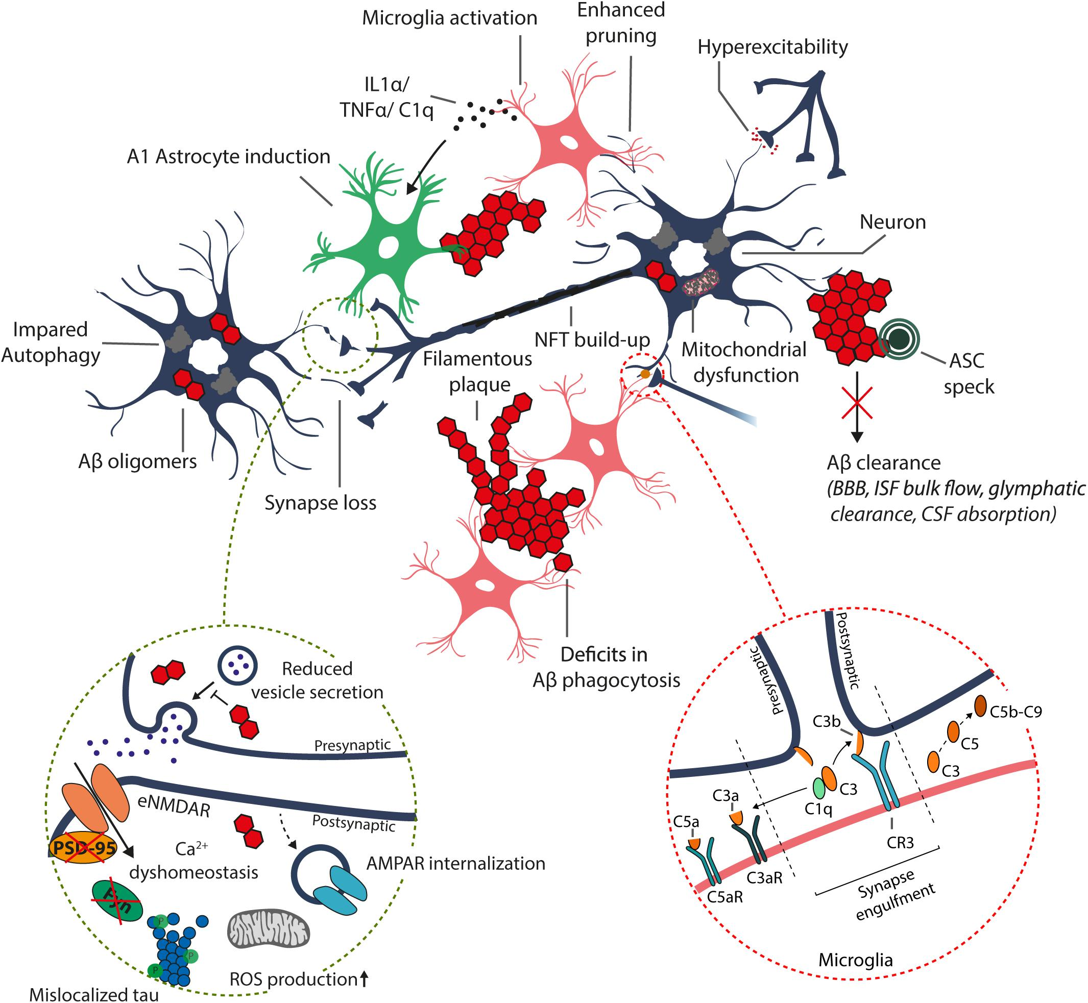Frontiers | Molecular Mechanisms of Synaptotoxicity and