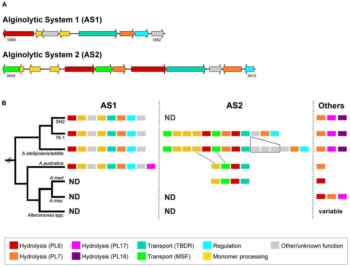 Frontiers | Adaptations of Alteromonas sp  76-1 to Polysaccharide