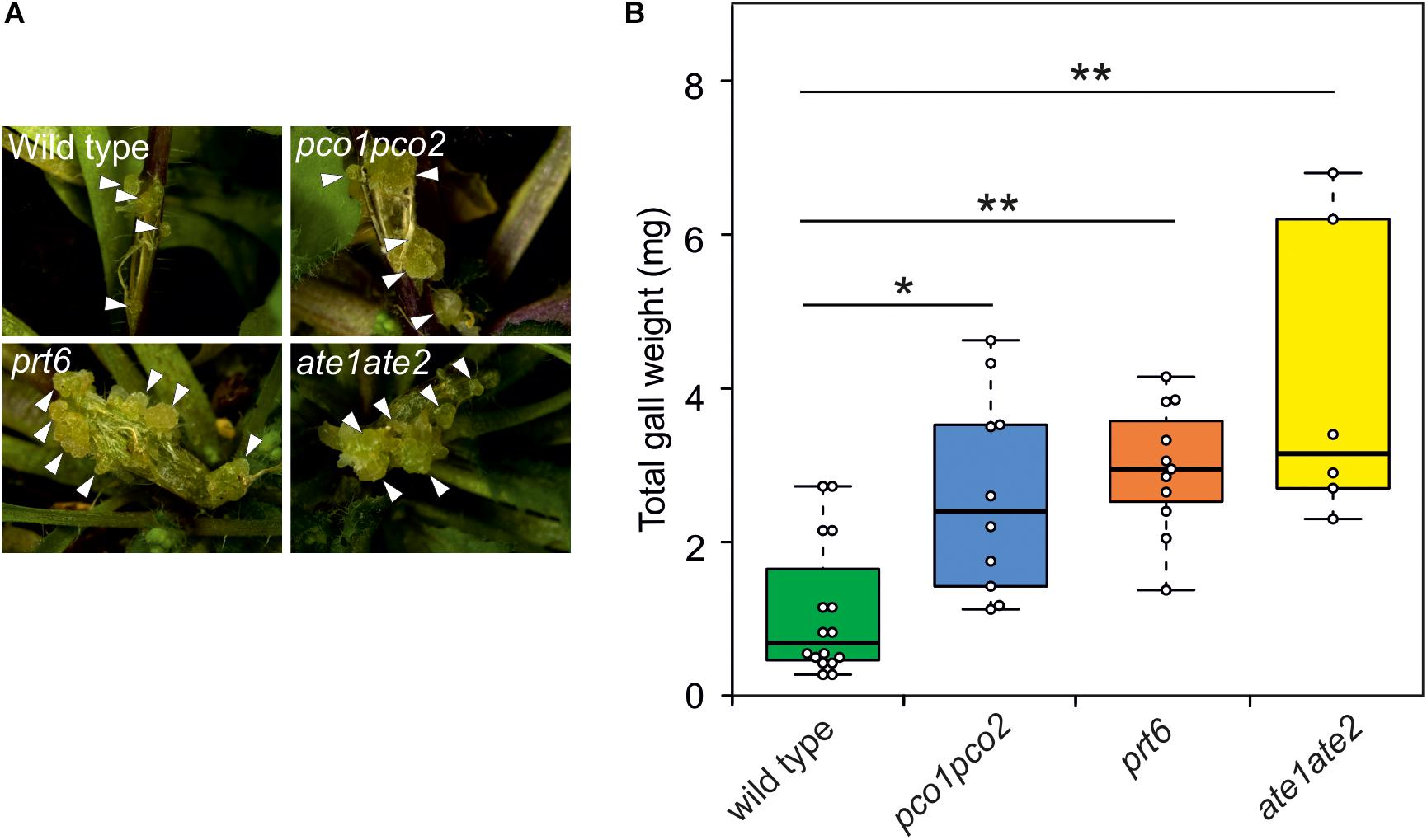 Frontiers | Hypoxic Conditions in Crown Galls Induce Plant