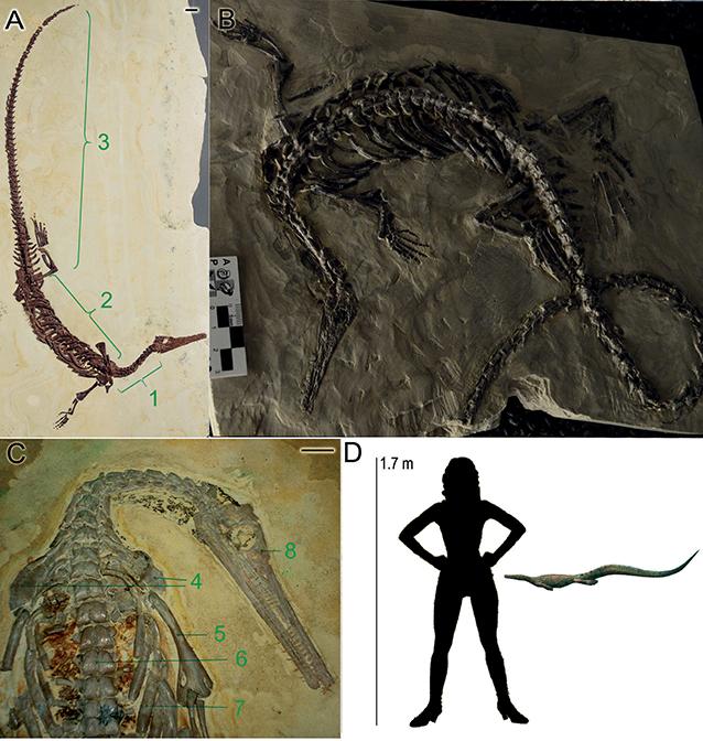 Figure 1 - (A–C) Some mesosaur skeletons with various parts labeled: 1. cervical region, 2. dorsal region, 3. caudal region, 4. shoulder blade, 5. humerus, 6. vertebral column, 7. ribs, 8. skull.
