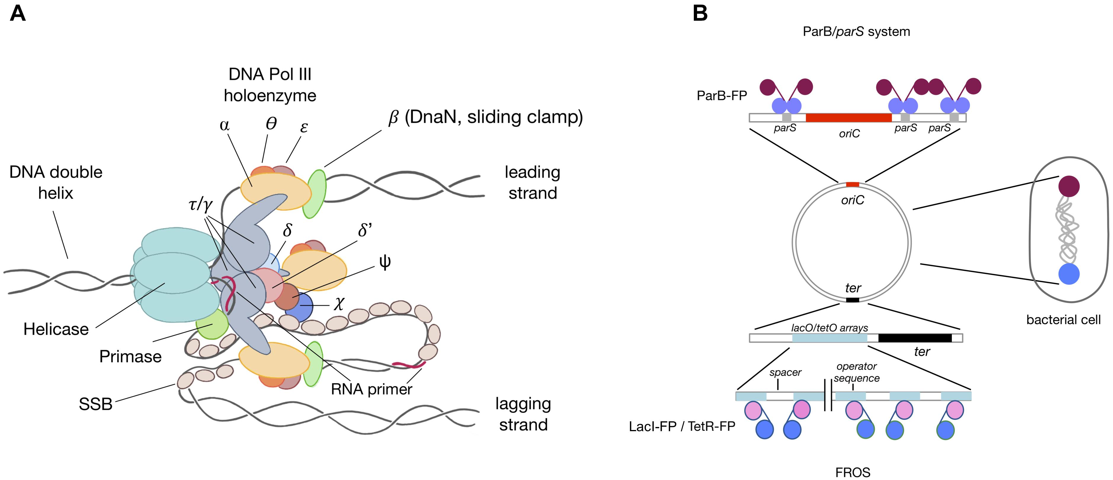 Frontiers | Where and When Bacterial Chromosome Replication