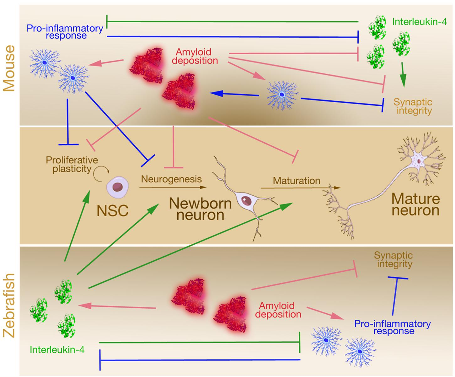 Overlooked Brain Cells May Have Leading >> Frontiers Is Alzheimer S Also A Stem Cell Disease The