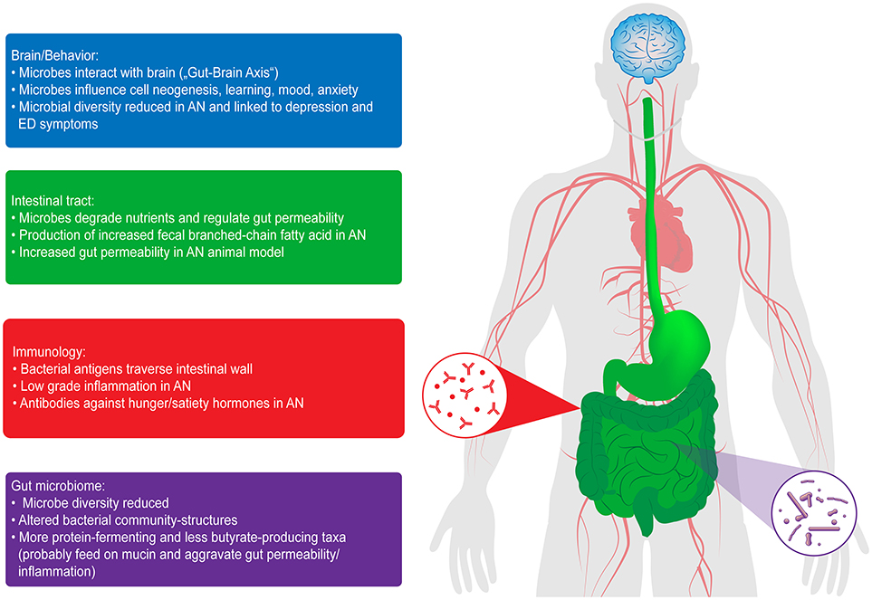 Frontiers The Impact Of Starvation On The Microbiome And Gut Brain Interaction In Anorexia Nervosa Endocrinology