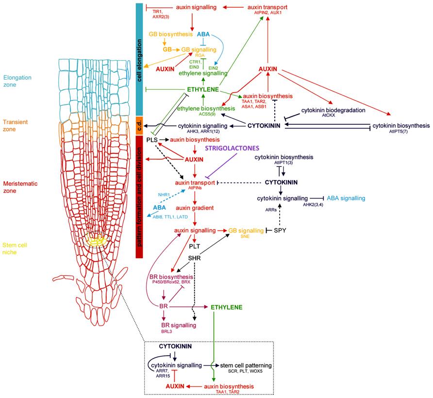 auxin and cytokinin relationship