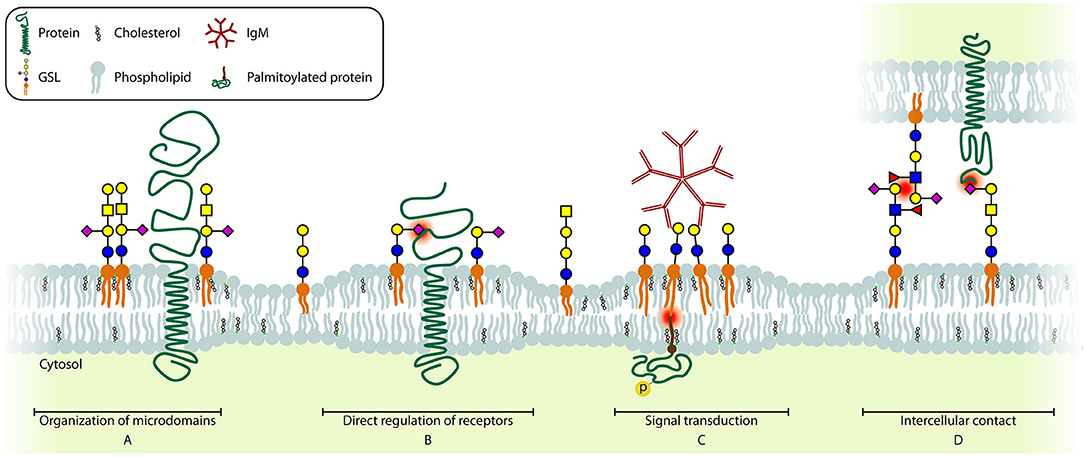 Frontiers   The Role of Glycosphingolipids in Immune Cell Functions