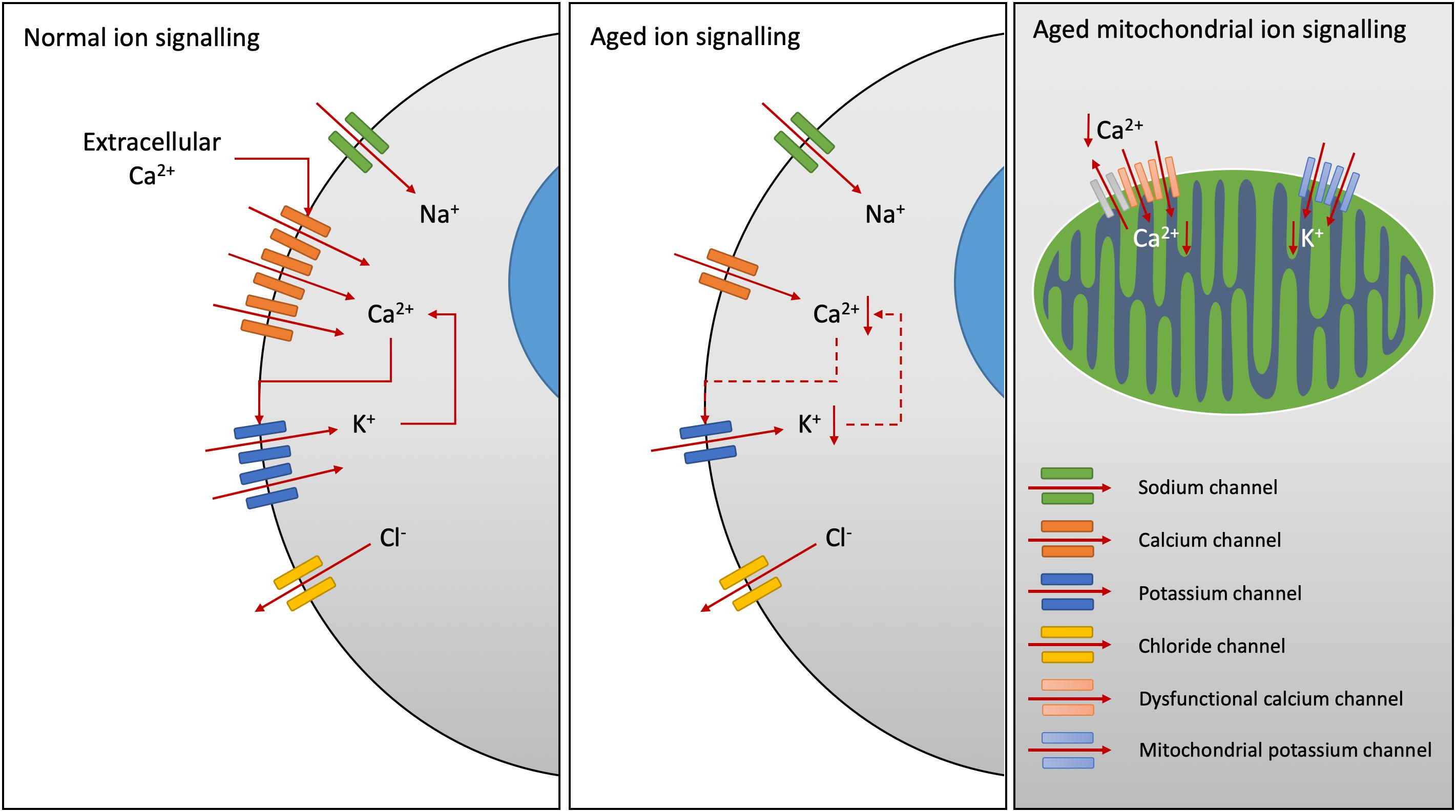 Frontiers | Relationships Between Ion Channels, Mitochondrial ... on