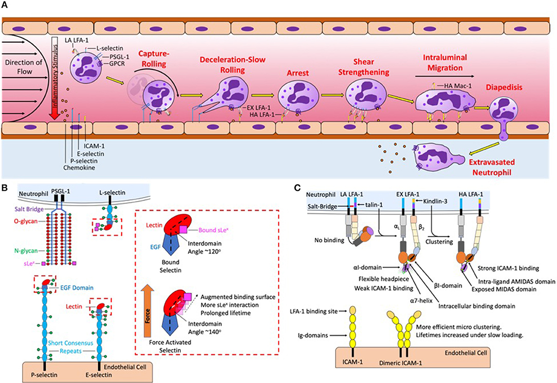 Frontiers | Neutrophil Mechanosignaling Promotes Integrin