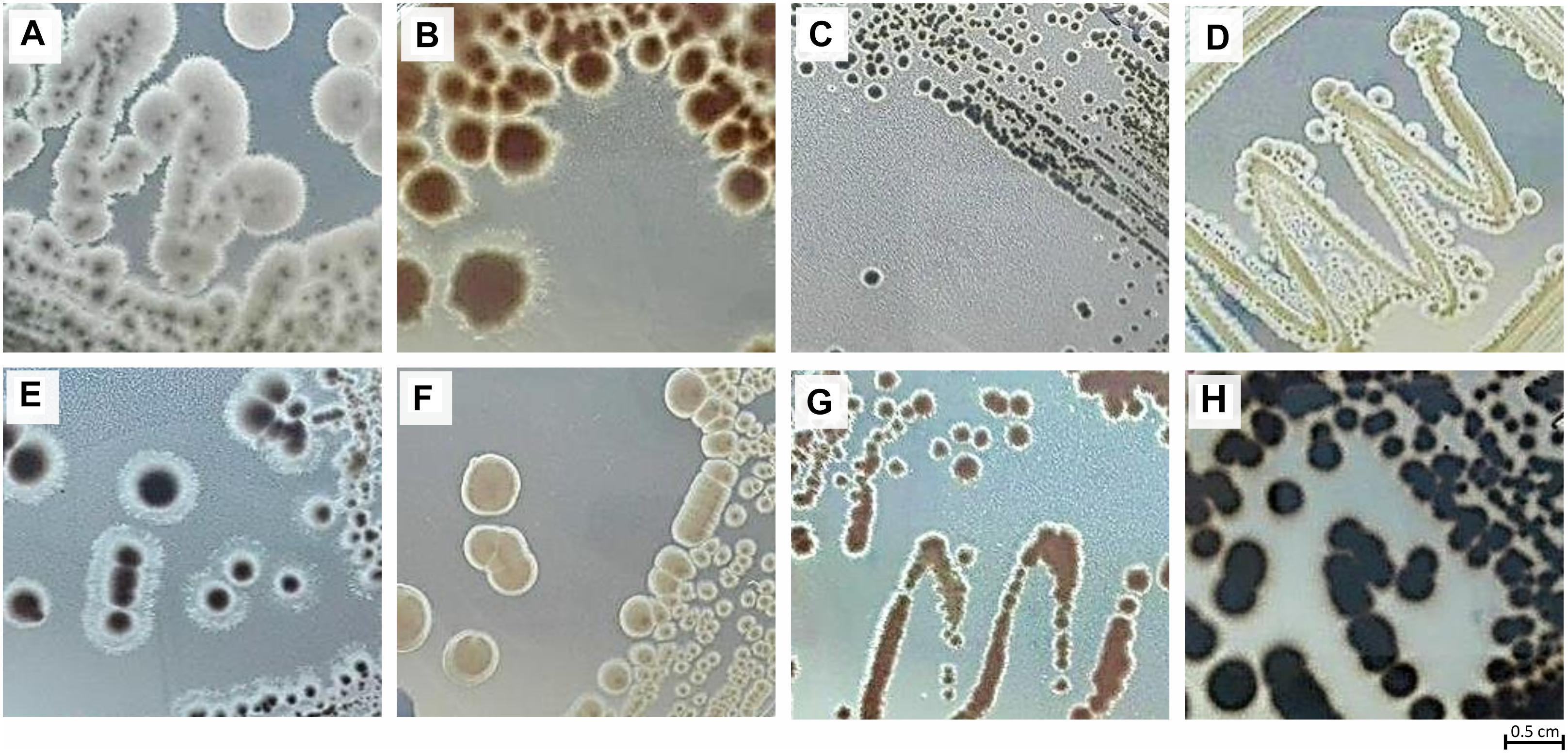Frontiers | Actinobacteria Isolated From Laminaria
