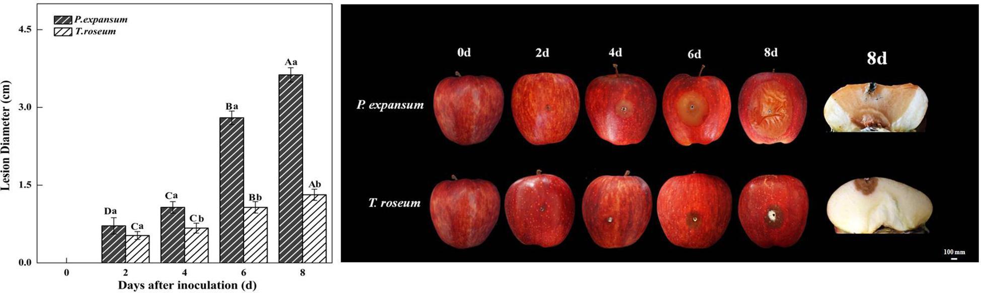 Frontiers Both Penicillium Expansum And Trichothecim