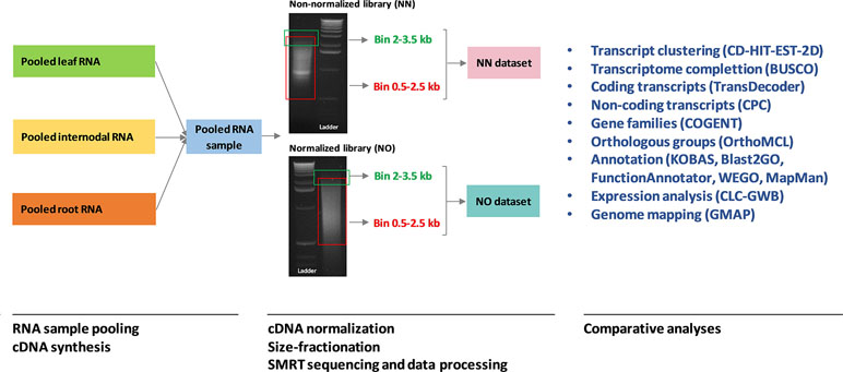 Frontiers | The Impact of cDNA Normalization on Long-Read Sequencing