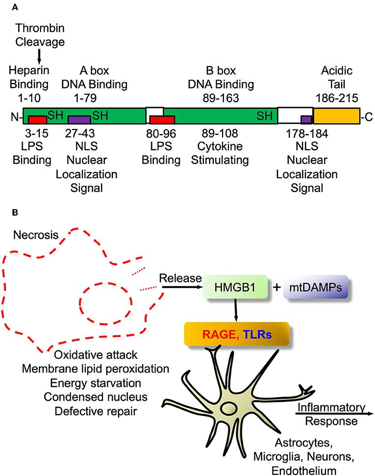 Frontiers   Thrombin and the Coag-Inflammatory Nexus in Neurotrauma