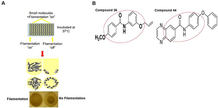 Figure 2 - Small molecules that can stop C. albicans filamentation.