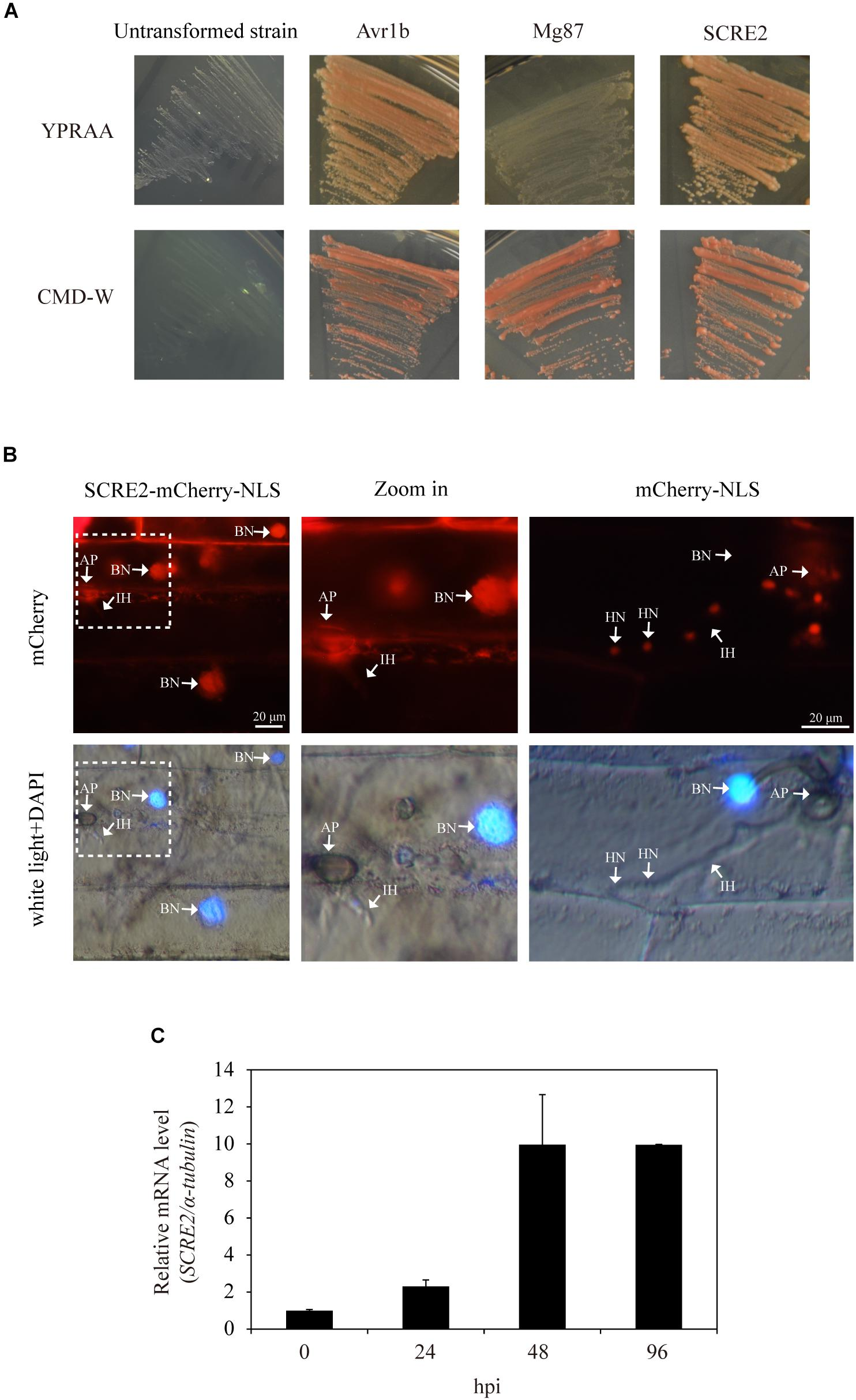Frontiers | A Novel Effector Gene SCRE2 Contributes to Full