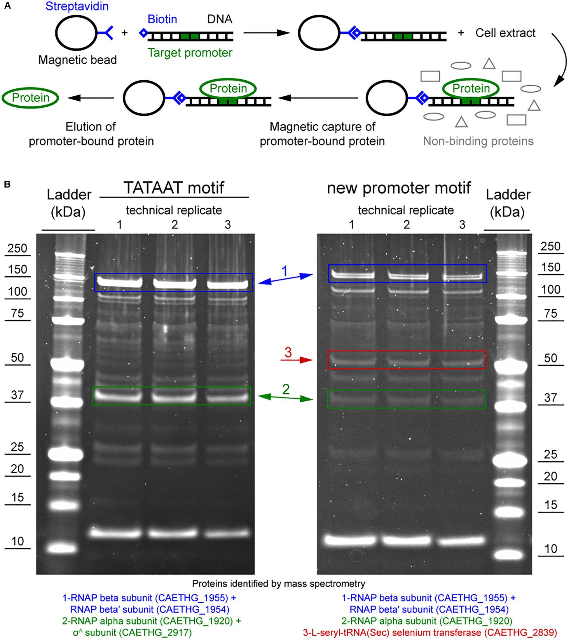 A TetR-Family Protein (CAETHG_0459) Activates