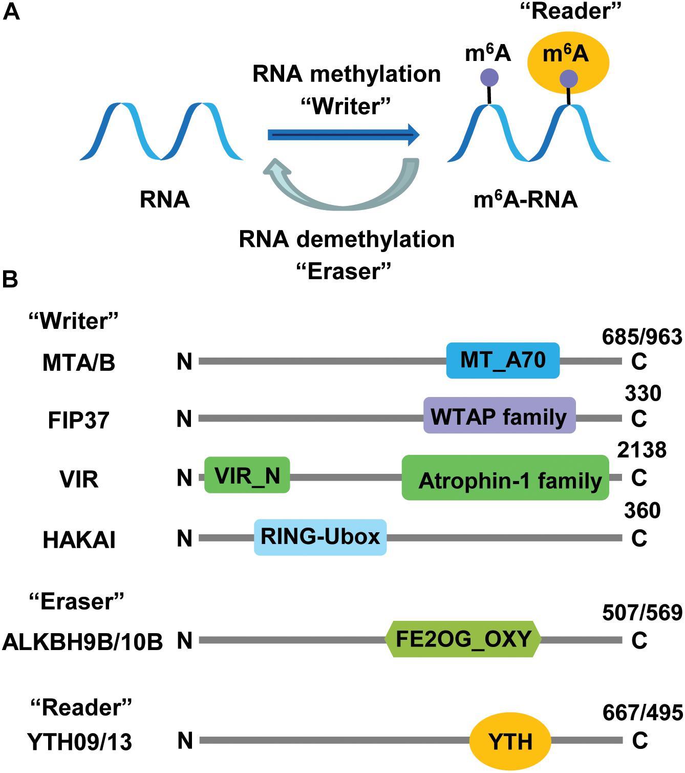 Frontiers | Epitranscriptomic RNA Methylation in Plant