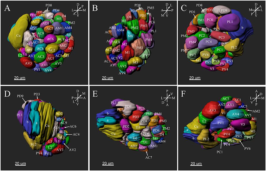 Frontiers | Glomerular Organization of the Antennal Lobes of